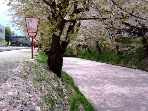 弘前 桜2